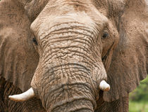 Closeup of elephant head with tusks Royalty Free Stock Photography