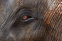 Closeup of elephants eye and hairy skin Stock Images