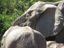 Closeup of elephants. A closeup of elephants in the Addo Elephant National Park, South Africa Royalty Free Stock Images