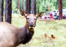 Closeup of Elk in Campground Stock Photo