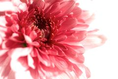 Closeup eller makro på en rosa gerberablomma. Royaltyfri Fotografi