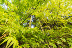 Closeup emerald green maple trees. Stock Photography