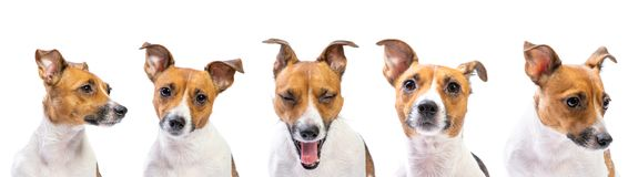 Closeup emotion Portraits of dog Jack Russell Terrier, standing in front, isolated on white royalty free stock image