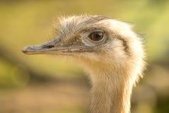 Closeup emu portrait Stock Photos