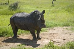 Closeup of endangered White Rhino at Lewa Wildlife Conservancy, North Kenya, Africa Royalty Free Stock Photo