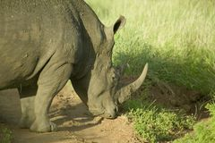 Closeup of endangered White Rhino at Lewa Wildlife Conservancy, North Kenya, Africa Stock Photos