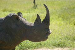 Closeup of endangered White Rhino at Lewa Wildlife Conservancy, North Kenya, Africa Stock Image