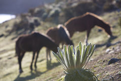 Closeup of endemic plant with horses in the background. Endemic green plants called Frailejon in Spanish with sun beams during sunset and three wild horses royalty free stock photography