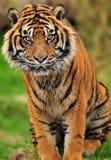 closeup engangered sumatrantiger Arkivbilder