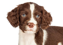 Closeup English Springer Spaniel Puppy Stock Images