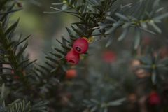 Closeup of english yew taxus baccata fruits. Closeup of english european yew taxus baccata fruits background Stock Photo