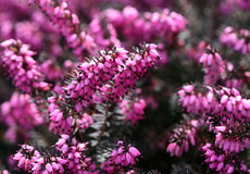 Closeup of Erica carnea Royalty Free Stock Photography