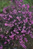 Closeup of Erica carnea Royalty Free Stock Photos