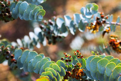 Closeup of   Eucalyptus krueseana leaves Royalty Free Stock Images