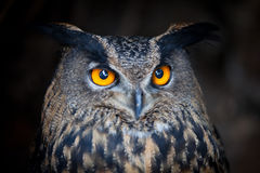 Closeup of a Eurasian Eagle-Owl Royalty Free Stock Photography