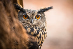 Closeup of a Eurasian Eagle-Owl Stock Images