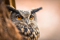 Closeup of a Eurasian Eagle-Owl Royalty Free Stock Photo