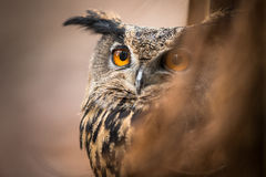 Closeup of a Eurasian Eagle-Owl Stock Photo