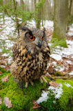 Closeup Eurasian eagle-owl Stock Image