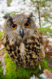 Closeup Eurasian eagle-owl Stock Photo