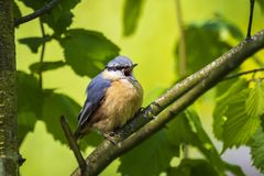 Eurasian or wood nuthatch bird Sitta europaea perched on a bra Royalty Free Stock Photo