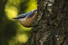 Eurasian or wood nuthatch bird Sitta europaea perched on a bra Stock Images