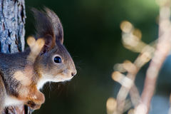 The red squirrel (Sciurus vulgaris) in profile Stock Photo