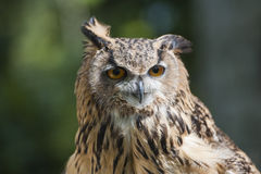 Closeup of european eagle owl Royalty Free Stock Photography