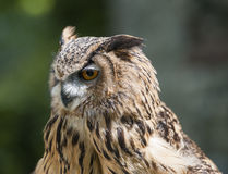 Closeup of european eagle owl Stock Image