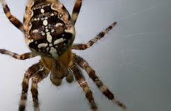 Closeup of European garden spider against white grey background stock image