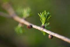 Closeup of European larch Royalty Free Stock Photography