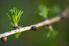 Closeup of European larch Stock Images