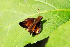 Closeup of a European Skipper butterfly on a leaf stock images