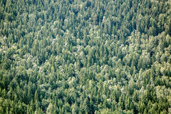 Closeup of evergreen forest Stock Photo