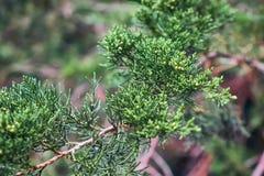 Thuja leaves arborvitae. Closeup of an evergreen thuja leaves arborvitae Royalty Free Stock Image