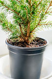 Closeup of the evergreen tree in the pot Stock Photo