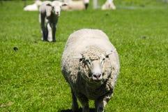 Closeup of a Ewe Stock Photos