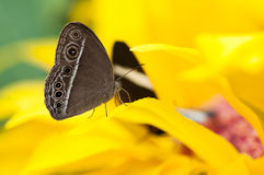 Closeup of the exotic butterfly Caligo spp Stock Photo