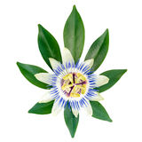 Closeup of exotic passion flower on the leaf is isolated Royalty Free Stock Photo