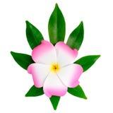 Closeup of exotic pink frangipani (plumeria), flower Royalty Free Stock Image