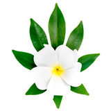 Closeup of exotic white frangipani (plumeria), flower Royalty Free Stock Images