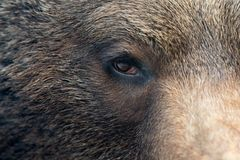 Brown bear eye. Closeup of the eye of a brown bear Royalty Free Stock Image