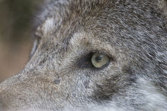 Closeup of the eye of a gray wolf. The fierce sight of a gray wolf. Closeup of the eye of a grey wolf, Canis lupus Royalty Free Stock Photo