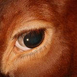 Closeup of eye of a red Holstein cow stock images