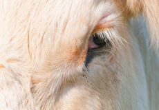Closeup of the eye of a white cow. Close-up of a the eye of white Dutch cow with long white eyelashes Royalty Free Stock Photo