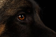Closeup Eyes of German Shepherd on Black Stock Image