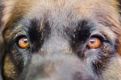 Closeup of eyes of a Leonberger stock image