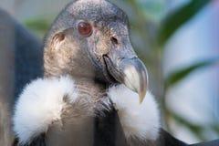 Closeup för Andean kondor Arkivbilder