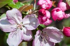 Closeup för blomma för rosa färger för Apple träd Begrepp för vårtid Royaltyfria Bilder
