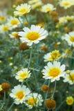 Closeup för blommor för trädgårdkamomilltusensköna Härlig naturplats med blommande medicinska kamomillar arkivbild